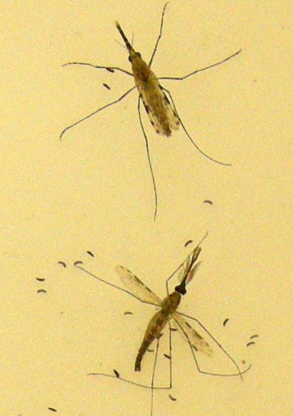 A female (top of picture) and male (bottom of picture) Anopheles gambiae mosquito, the principal carrier of malaria in Africa. Image courtesy of the Centers for Disease Control.